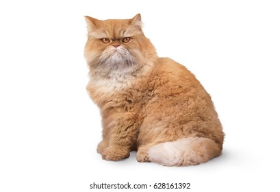 Persian orange angry fat cat garfield isolated