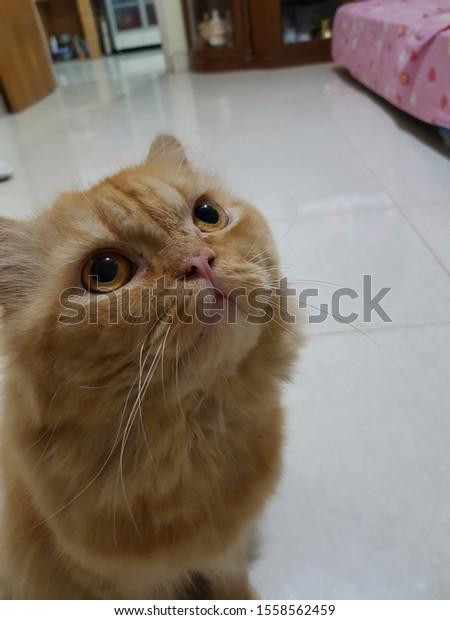 Persian Peak Nose Tabby Cat Stock Photo Edit Now 1558562459