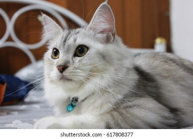 Persian plus maine coon cat lying on the bed