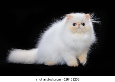 Persian red point color cat on a black background