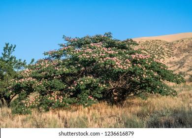 Persian Silk Tree (Albizia julibrissin) in park, Republic of Dagestan, Russia