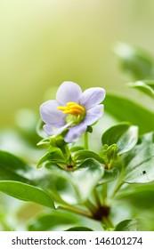 Persian violet(Exacum afine)