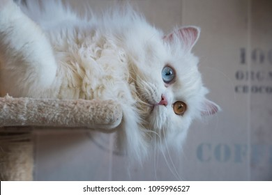 Persian white cat,two eyes,cute cat in cafe cats