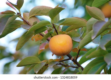 persimmon fruit on the branch. Persimmon tree with Ripe orange fruits in the autumn garden. Kaki plum tree, Japanese persimmon, Diospyros kaki Lycopersicum