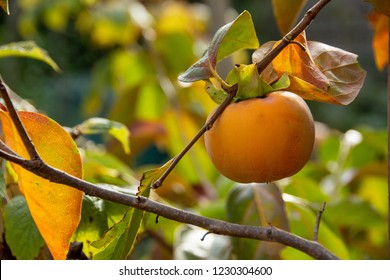 Persimmon fruit on his tree (Diospyros kaki) in autumn
