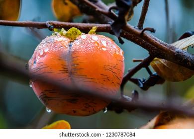 Persimmon fruit on tree branch. Kaki plum tree, Japanese persimmon, Diospyros kaki Lycopersicum. Ripe orange fruits in the autumn garden
