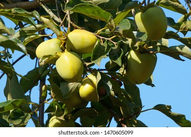 Persimmon fruits in foliage on blue sky background. Diospyros kaki