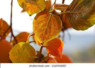 persimmon or persimon leaf or kaki leaf diospyros kaki family ebenaceae close up in autumn or fall showing beautiful colours in Italy