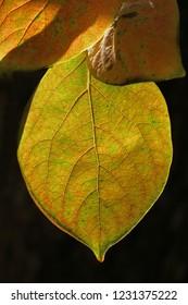 persimmon or persimon leaf or kaki leaf diospyros kaki family ebenaceae close up in autumn showing beautiful colours in Italy