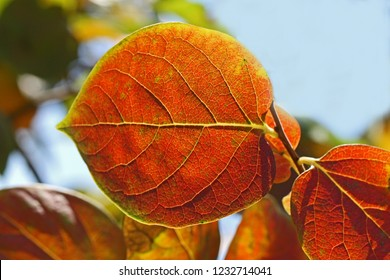 persimmon or persimon leaf or kaki leaf diospyros kaki family ebenaceae close up in autumn showing beautiful colours in Italy