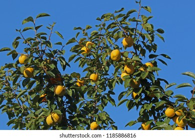 persimmon or persimon tree or kaki tree diospyros kaki family ebenaceae in autumn or fall with ripening fruits just starting to turn orange in October in Italy
