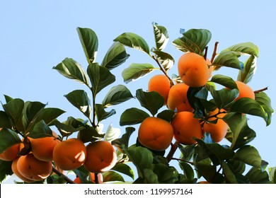 A persimmon tree in clustered up
