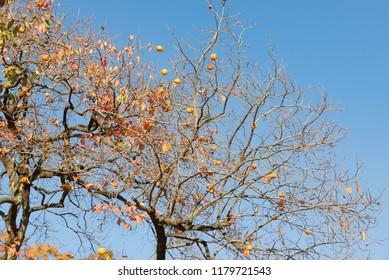 Persimmon tree (diospyros kaki) with ripe fruits, late autumn