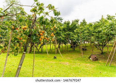 Persimmon tree in persimmon farm ready for harvest.