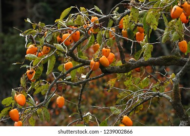 Persimmon tree and fruit