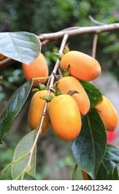 The persimmon tree with ripe fruits which is also named Japanese Persimmon Kaki. (Bio: Diospyros  kaki  Thunb.) The dried fruit is the famous agricultural product in the Hakka village, Hsinchu, Taiwan