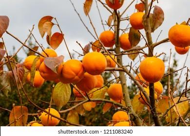 Persimmon tree with Ripe orange fruits in the autumn garden. Kaki plum tree, Japanese persimmon, Diospyros kaki  Lycopersicum fruits