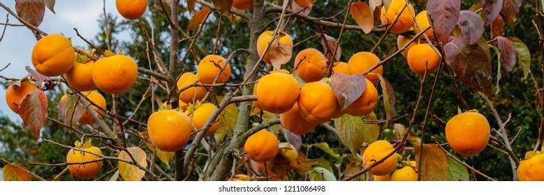 Persimmon  tree with Ripe orange fruits in the autumn garden.  Kaki plum tree, Japanese persimmon,  Diospyros kaki  Lycopersicum