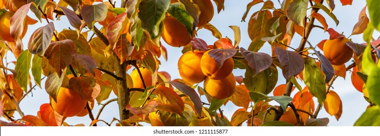 Persimmon  tree with Ripe orange fruits in the autumn garden.  Kaki plum tree, Japanese persimmon,  Diospyros kaki  Lycopersicum, banner