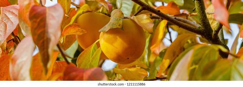 Persimmon  tree with Ripe orange fruits in the autumn garden.  Kaki plum tree, Japanese persimmon,  Diospyros kaki  Lycopersicum, banner
