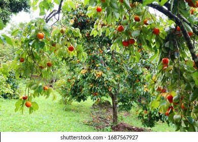 Persimmon trees loaded with ripe yellow fruit. Green foliage with branches laden with fruit.