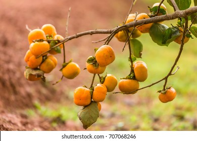 Persimmons on persimmon tree are organic fruit at the cool weather plantation on the hills.