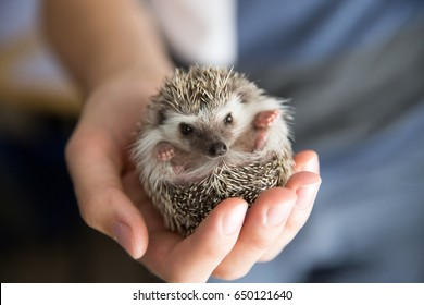 Person African Pygmy Hedgehog in hands