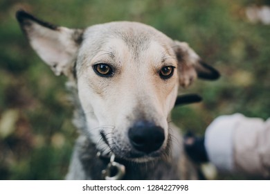 Person caressing cute gray dog with sad eyes and emotions in park. Dog shelter. Adoption concept. Woman petting scared dog in city street.