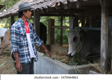 person with cow on farming. yogyakata indonesia. august 5, 2019.