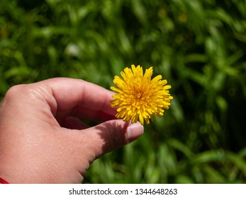 A person with a dandelion flower in his hand in spring