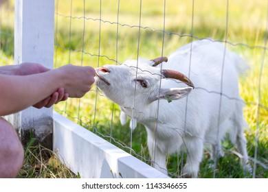 Person feeding a baby goat grass through a fence in the farm yard