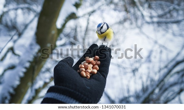 Person feeding a blue tit on cold winter day in Turku, Finland