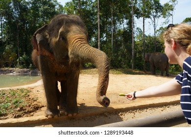 Person feeding elephant in Vinpearl Safari zoo park, Phu Quoc island, Vietnam