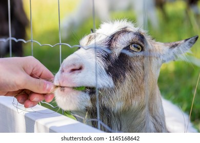 Person feeding grass to a goat through a fence close up