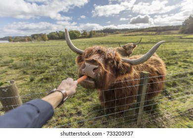 A person feeding a highland cow in Scotland.