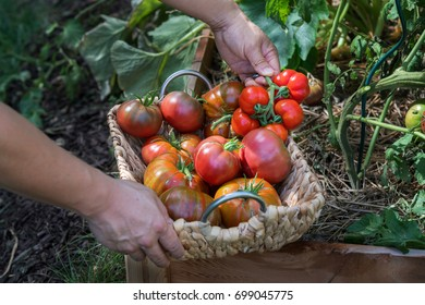 a person filling a  basket with heirloom tomatoes against a garden raised bed