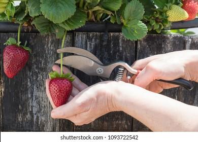 person-harvest-strawberries-plant-help-2