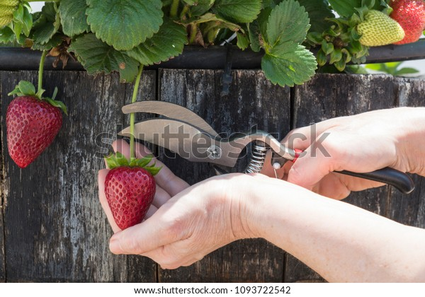 person-harvest-strawberries-plant-help-6