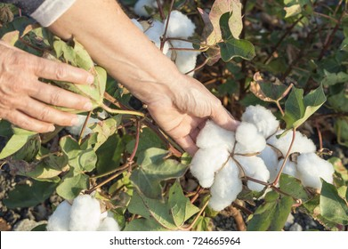 A person harvesting cotton in the field