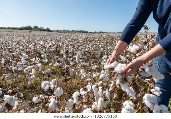 Person harvesting cotton in a field