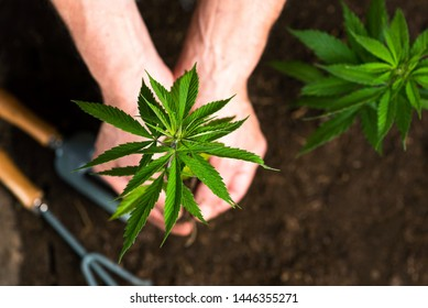 Person holding industrial hemp above the soil top view
