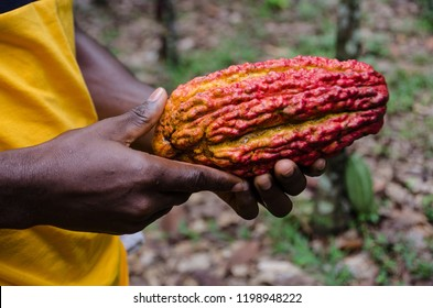 A person holding a red and yellow cocoa pod Akim Tafo, Eastern Region, Ghana.