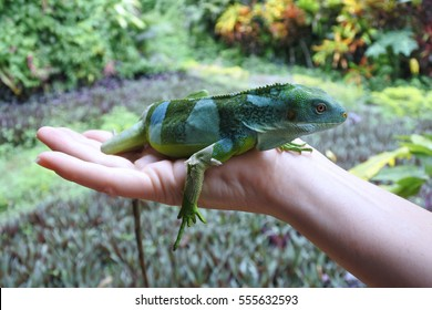 Person holds a Fiji banded iguana.Fiji iguanas are considered a national treasure by the government of Fiji, and its likeness has been featured on postage stamps, currency, and phone book covers.