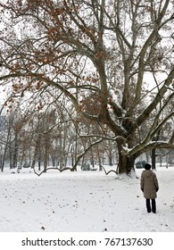 A person looking at a big old tree. Snowy landscape on Margaret Island, Budapest. Vertical photo.