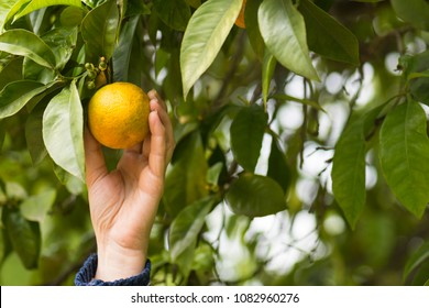 person-picks-oranges-tree-his-260nw-1082