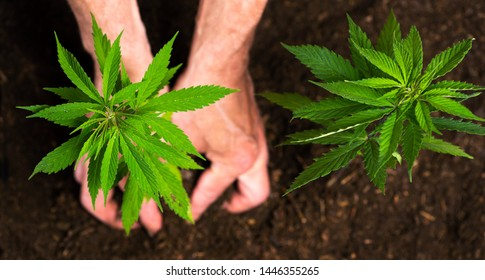 Person planting industrial hemp in the soil with gardening tools