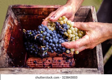 Person putting grapes in old manual press for grapes crushed