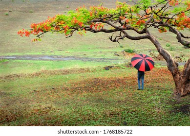 A person with red umbrella standing under Gulmohar tree in rainy season. A pictorial image was shot at Wai in Pune on 9 june 2013