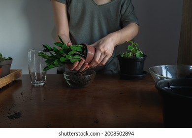 A person repotting a ZZ plant inside a apartment, on top of a wooden table with dirt and others houseplants on the background.