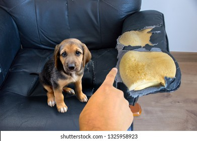 Person scolding the dog for biting and destroying the sofa at home